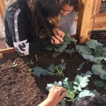 Picking catepillars from broccoli